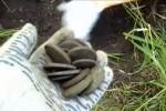 Видео об извлечении клада медных монет